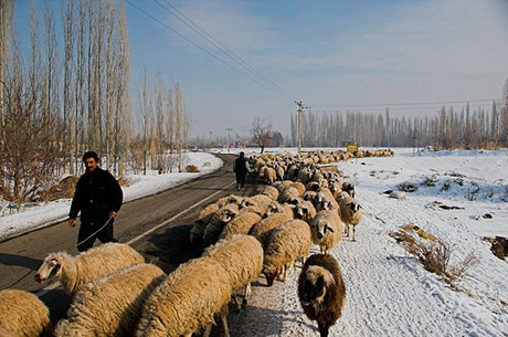 shepherds in iran